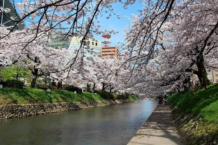 松川の桜のトンネル